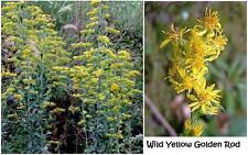 Wild Yellow Golden Rod Way Over 100 + Seeds