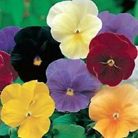 Pansy- Clear Crystal Mix - 50 Seeds- BOGO 50% off SALE
