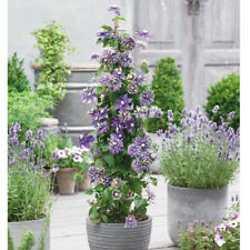 Clematis Hardy Evergreen Shrub Potted Plant Taiga 11cm or 3.6L Nursery Pots T&M
