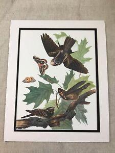1964 Vintage Bird Print Whippoorwill Audubon's Book of Birds of America LARGE