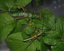 Mearnsiana bullosa stick insect 20+ eggs