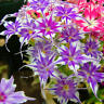 100PCS Phlox Flower Seeds Garden Courtyard Bonsai Potted DIY Plants Flower Seeds