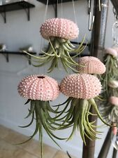 "3 Sea Urchin Air Plant ""Jellyfish"" That Will Bloom!Ionantha.Care Info Included"
