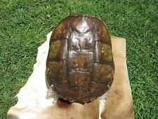 COMMON TURTLE SNAPPING SHELL TAXIDERMY SKELETON HUNTING BONES SKULL  722