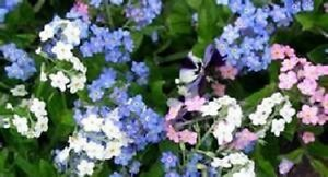 60+ Blue White and Rose Mix Forget-Me-Not Myosotis / Perennial Flower Seeds