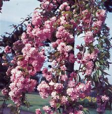 Cheals Weeping Cherry Tree 9L Pot Bare Root Prunus Shidare Zakura Ornamental