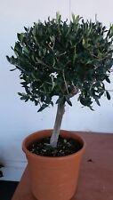 PIANTA DI ULIVO ALBERELLO pre bonsai ALTEZZA 80/100 CM  (foto reali)