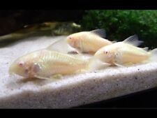 X15 ALBINO CORYDORAS CATFISH - LIVE FRESHWATER TROPICAL CATFISH - FREE SHIPPING