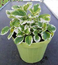 Incenso Piante Aromatiche Plectranthus coleoides vaso 14 erbe aromatiche