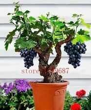 100PCS Fruit Seeds Grapes Bonsai Tree Purple Easy Grow Summer Home Garden Plants
