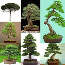 ALBERO Bonsai Semi Misti Pack-conifere//latifoglie//Fioritura-Selezione migliori Bonsai