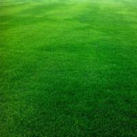 10000Pcs Festuca Arundinacea Seeds Soccer Field Golf Course Lawn Grass Decor Gar