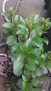Highly fragrant / scented : Mentha cv(?) (Hidcote lavender scented mint)