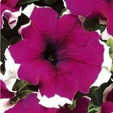 50 Seeds Pelleted Dreams Burgundy Petunia Seeds Flower Seeds