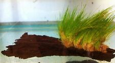 "Eleocharis Parvulus Hairgrass"" Growing on Bogwood Live Aquarium Plants"