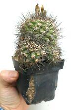 Copiapoa humilis Paposo old Established Plant no Cinerea O3