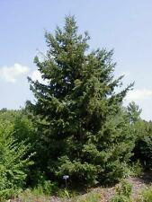 20 WHITE SPRUCE TREE SEEDS - Picea glauca