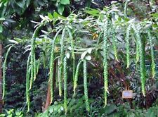 30 SEEDS PHYLLODIUM LONGIPES FISH SCALES RARE SHURB EXOTIC LONG LEAF TREE NATIVE
