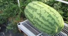 ' Watermelon- Giant NC Fruit /  Vegetable Seeds 50ct (6g)
