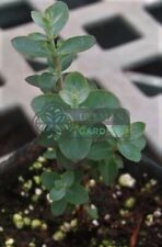 "Eucalyptus ""Silver Drop"" Herb - Live Plant - Spa Plant - Medicinal Herb"