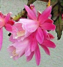 3 schöne Epiphyllum Blattkaktus - Stecklinge - DEUTSCHE KAISERIN - Rosa-blühend