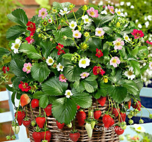 Loran Strawberry Seed Indoor House Plants Outdoor Rare 500 Bonsai Pot Seeds