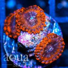New listing Asd - 088 Hellspawn Zoanthids - Wysiwyg - Aqua Sd Live Coral Frag