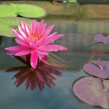 5 KAEMPFERI IRIS ensata Blu Bianco Rosa acqua pianta acquatica laghetto Fiore marginale
