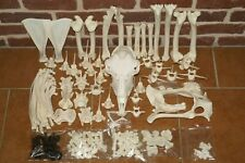 real genuine animal goat skeleton taxidermy skull bone zooarchaeology supplies