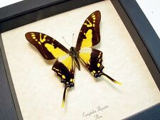 Real Framed Eurytides Thyastes Yellow Swordtail Butterfly 707