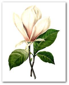 White Magnolia Print, Botanical Flower Illustration, 8 x 10 Inches, Unframed