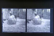 Le chat le chien et le rat Photo stéréo négatifsur film souple 1911