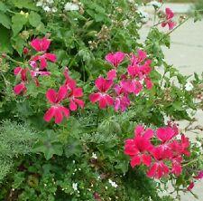 15 Geranium Seeds Cascade Beauty Rose Trailing Geranium