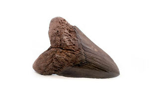 Massive Megalodon tooth-replica