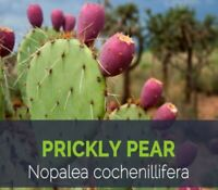 Nopal Cactus Capsules 100% Organic Nopales All Natural Made Fresh Dr Sebi