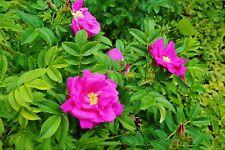 Apfelrose Rosa rugosa 60 Samen  VERSAND FREI !!!