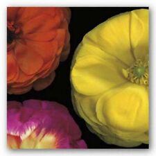 Ranunculus II Right Pip Bloomfield Art Print 18x18