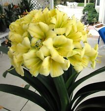 5 Amaryllis Usa Clivia Seeds Nick Primich Yellow X Green Clouds