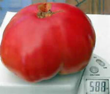 HUGE5 # Cowlick Brandywine Tomato! 20 Seeds! Heirloom!  COMB. S/H SEE OUR STORE!