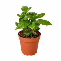 "Arabica Coffee - 4"" Pot"