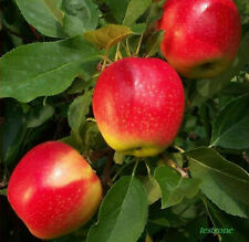 Gala Apple Trees -5 Seeds- Harvest Delicious Fruits In Your Backyard Gardens