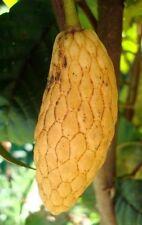 5 Seeds Annona conica Custard Apple Rare & Precious Fruit Seeds