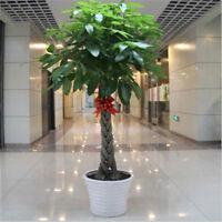 1pcs pachira money tree seeds good luck much money indoor plant'ornamental