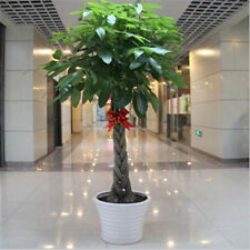 1pcs pachira money tree seeds good luck much money indoor plant ornamental