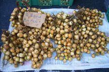 20 LAMAI Baccaurea motleyana (Similar to Mafai) tree/plant/fruit seeds