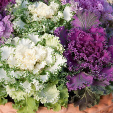 Flower seed - Ornamental Cabbage (Kale) Fringed MIX - Pack of 100 seeds