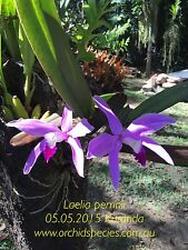 QOB Orchid Plant Fagrant species! Cattleya Laelia perrinii 90mm pot