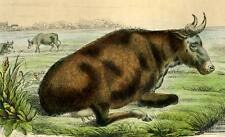 La vache GRAVURE ORIGINALE ANIMAUX DE BUFFON 1835