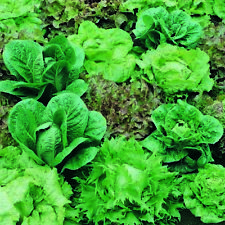 Lettuce Mixed Leaf Salad Loose Leaf Variety - 500 Finest Seeds - All Year Round