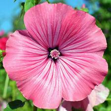 Seeds Lavatera Mix Flower Annual Beautiful Outdoor Garden Cut Organic Ukraine